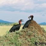 Ground Hornbills courting at a termite mound. Masai Mara, Kenya