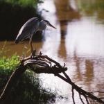 grey-heron-re500