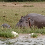 Yellow-billed oxpecker, Hippo and young. QE NP, Uganda