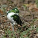 Klaas's cuckoo. Mewya, Queen Elizabeth NP, Uganda