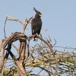 l.crested-eagle-1crop500