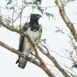 Martial Eagle Queen Elizabeth NP. Uganda