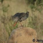 Red-necked spurfowl. Morning stretch. Lake Mburo NP, Uganda