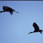 open-billed-storks-okavango-crop-72