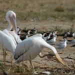 pelican-scratch500