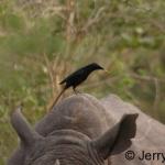 Piapiac on white rhino. Ziwa Ranch, Uganda