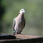 ring-necked-dove500
