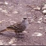 rufous-tailed-weaver-72