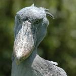 shoebill-head500