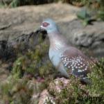 Speckled pigeon. Timau, Kenya