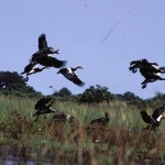 spur-winged-geese-okavango-crop-72