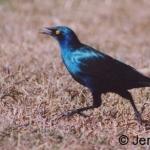 Greater Blue-eared starling. Nanyuki, Kenya