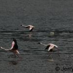 Flamingos on Lake Baringo