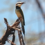 w-throated-Bee-eater-2-re-72