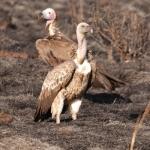 white-headed-vultures-Meru500