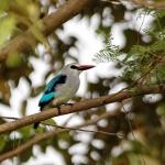woodland-Kingfisher-crop