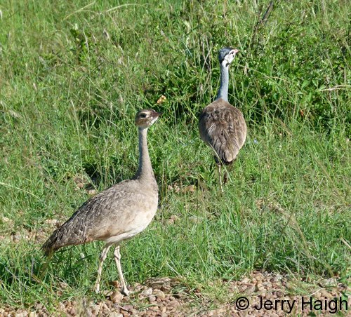 white-bellied-bustard-pair2500