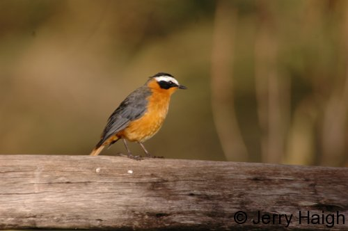 white-browed-robin-chat500