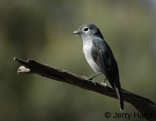 white-eyed-slaty-flycatrchercrop500