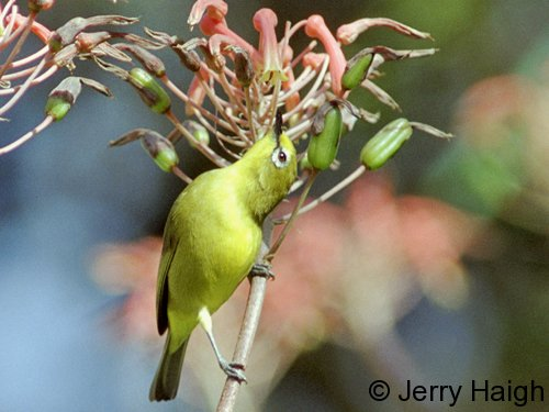 yellow-white-eye500