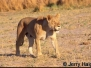African Carnivores
