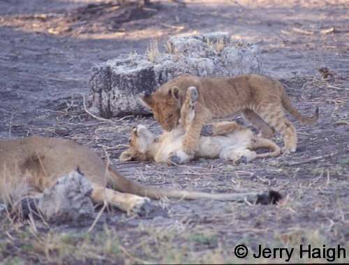 Two lion cubs at play