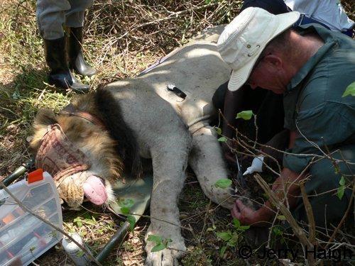 Flushing a lion wound