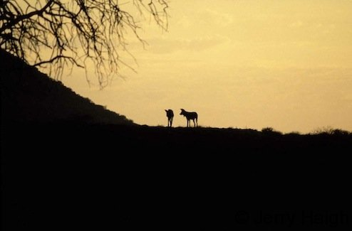 African WIld dog at dusk