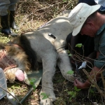 Flushing a lion wound