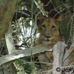 Lioness in Giant euphorbia