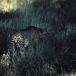 Pippa the cheetah in Meru NP