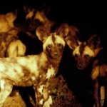 African WIld dog pups hear the adults