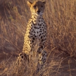 Cheetah in the morning sun