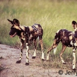 Afrcian wild dogs at Madikwe