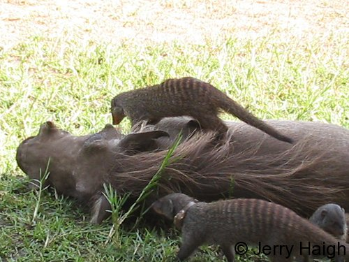 Warthog and banded mongoose at Queen Elizabeht NAtional park. A unique symbiosis