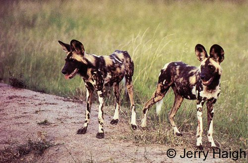 Afrcian wild dogs at Madikwe