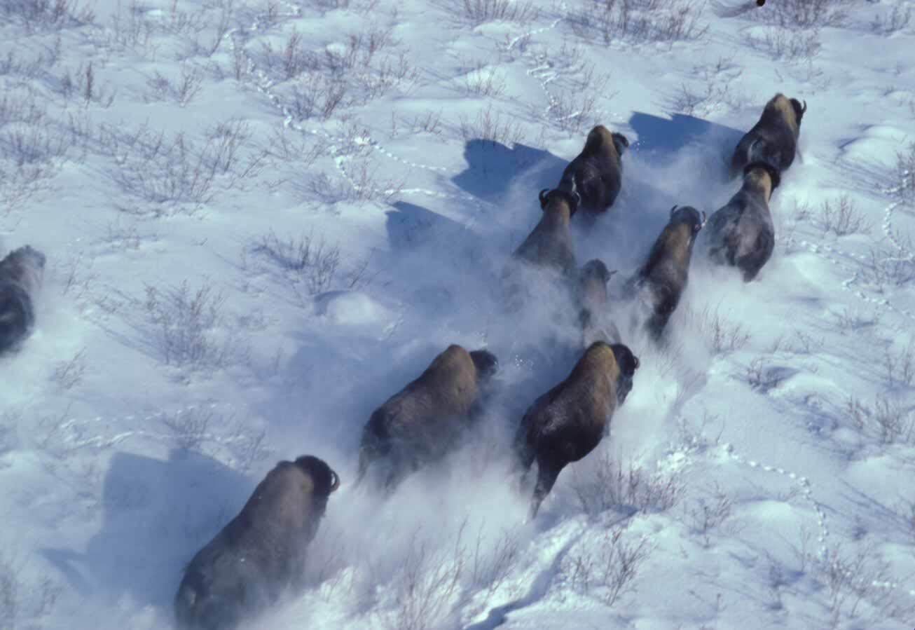 Wood Bison herd running