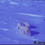 Polar bear sow & 2 cubs