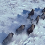 Wood Bison herd running