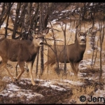 Two mule deer in bush