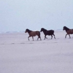 Sable Island ponies on the beach