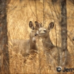 White-tailed deer does in woodland