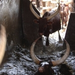 Cattle dipping