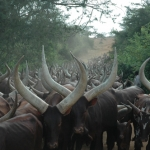 Ankole cattle going to dip