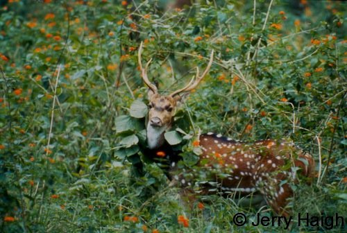Chttal stag adorning himself with lantana