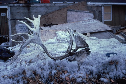 Spoils of the hunt. A caribou head outised a home