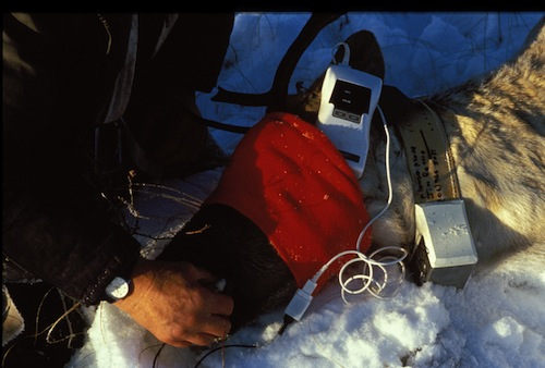 Immobilized caribou being monitored with a pulse oximeter
