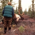A collared caribou bull recovers, watched by Jerry Haigh