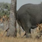 Bourassas palm provides a scratching post