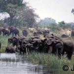 Herd in the river